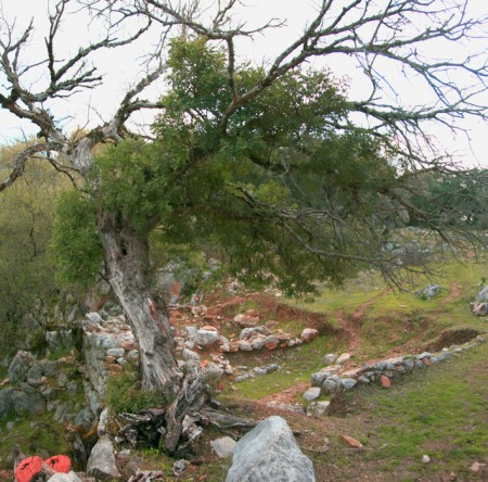 Lentisco y muralla ciclópea de Ocuri, tras el desprendimiento parcial.
