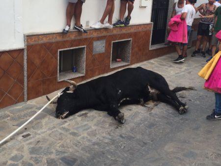 Toro muerto durante el recorrido.